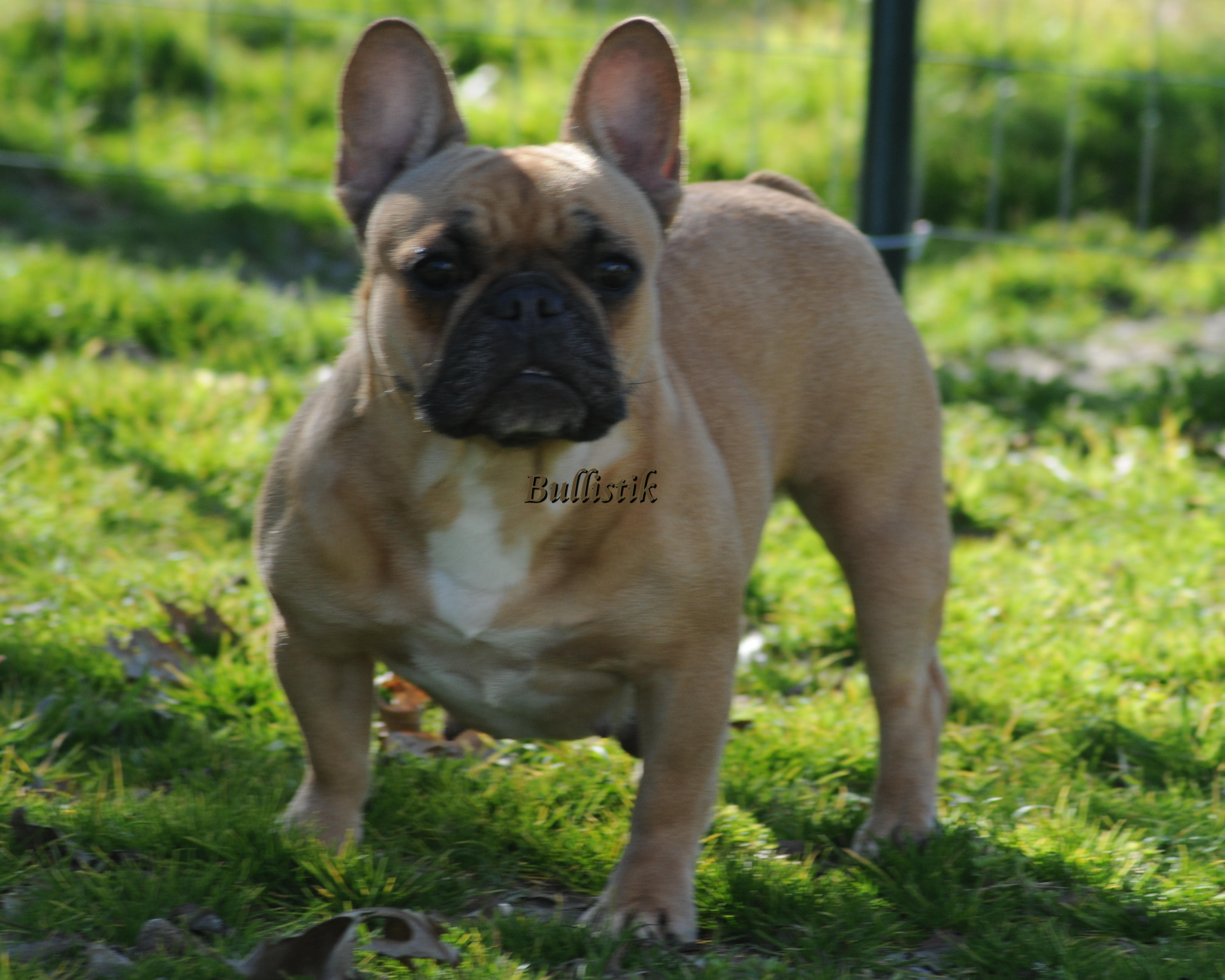 adult french bulldog available adults blue french bulldogs by bullistik 1317