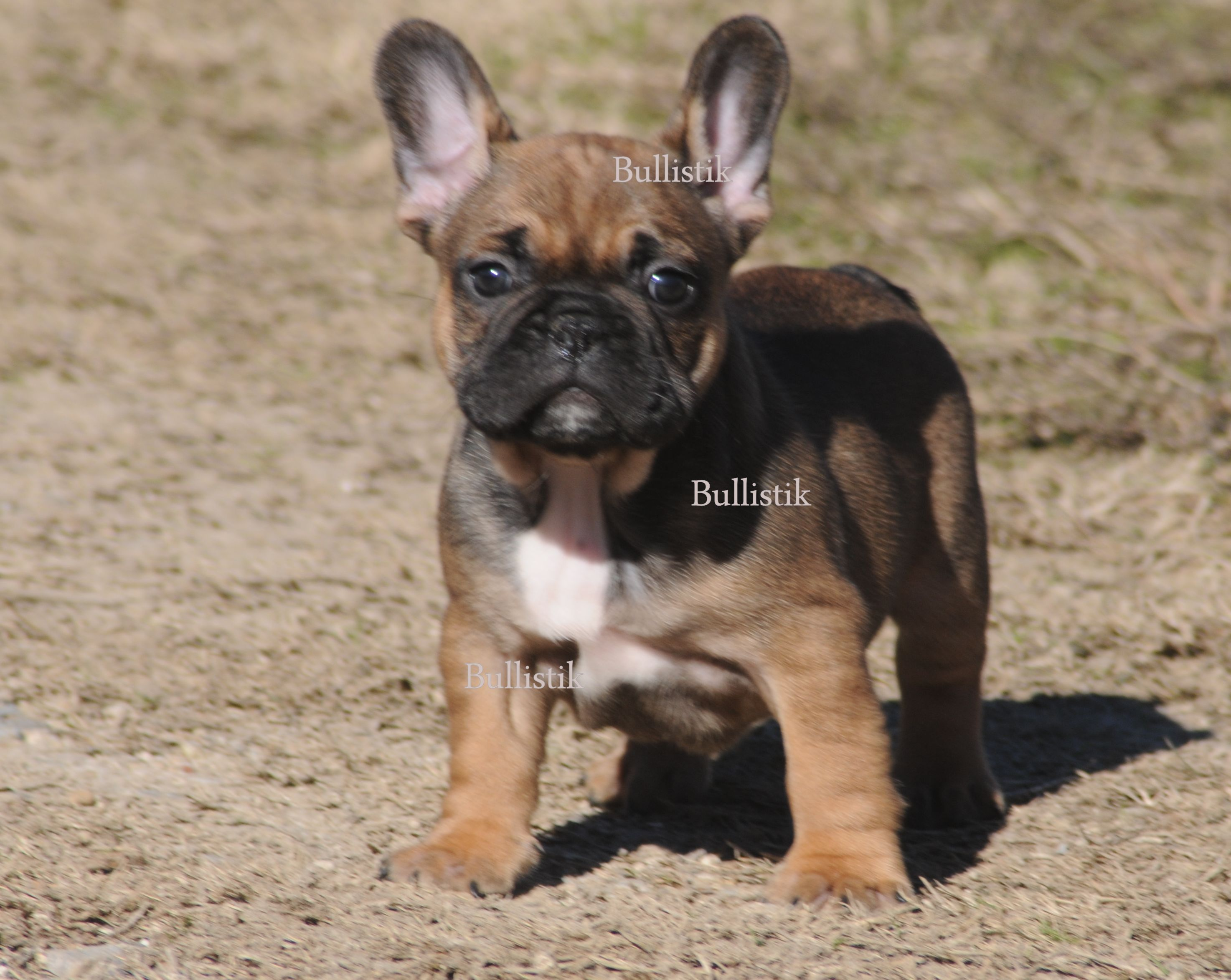 Blue french bulldog kentucky – Dog life photo