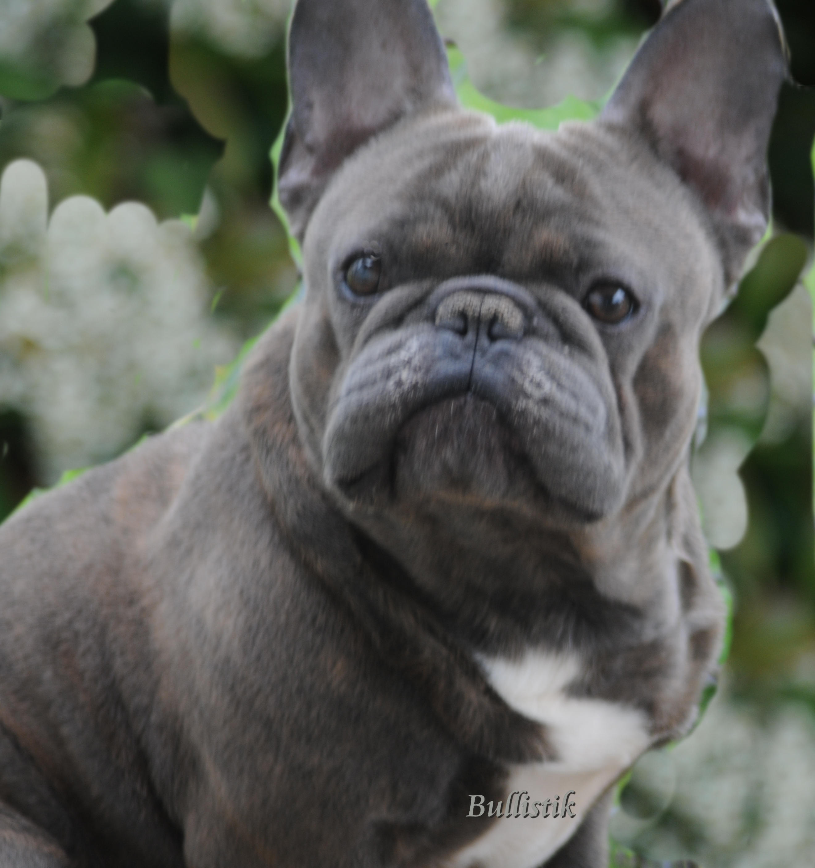 ... has passed his Genetic testing! – Blue French Bulldogs by Bullistik