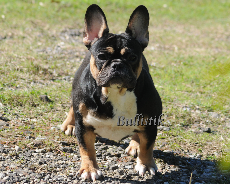 Peril – Blue French Bulldogs by Bullistik