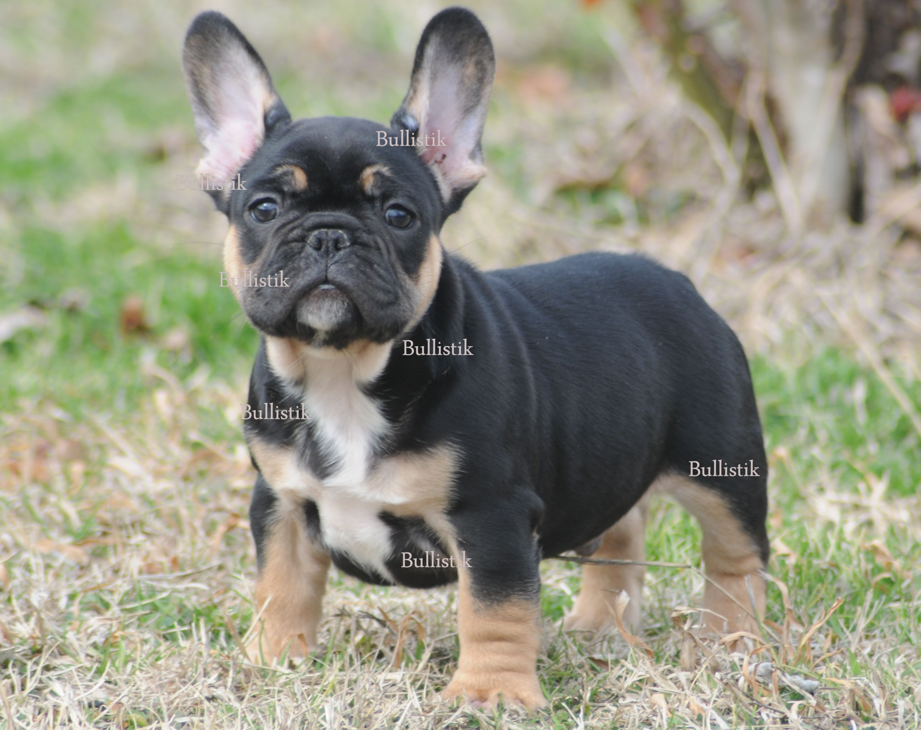 Tycoon Blue French Bulldogs By Bullistik Tm
