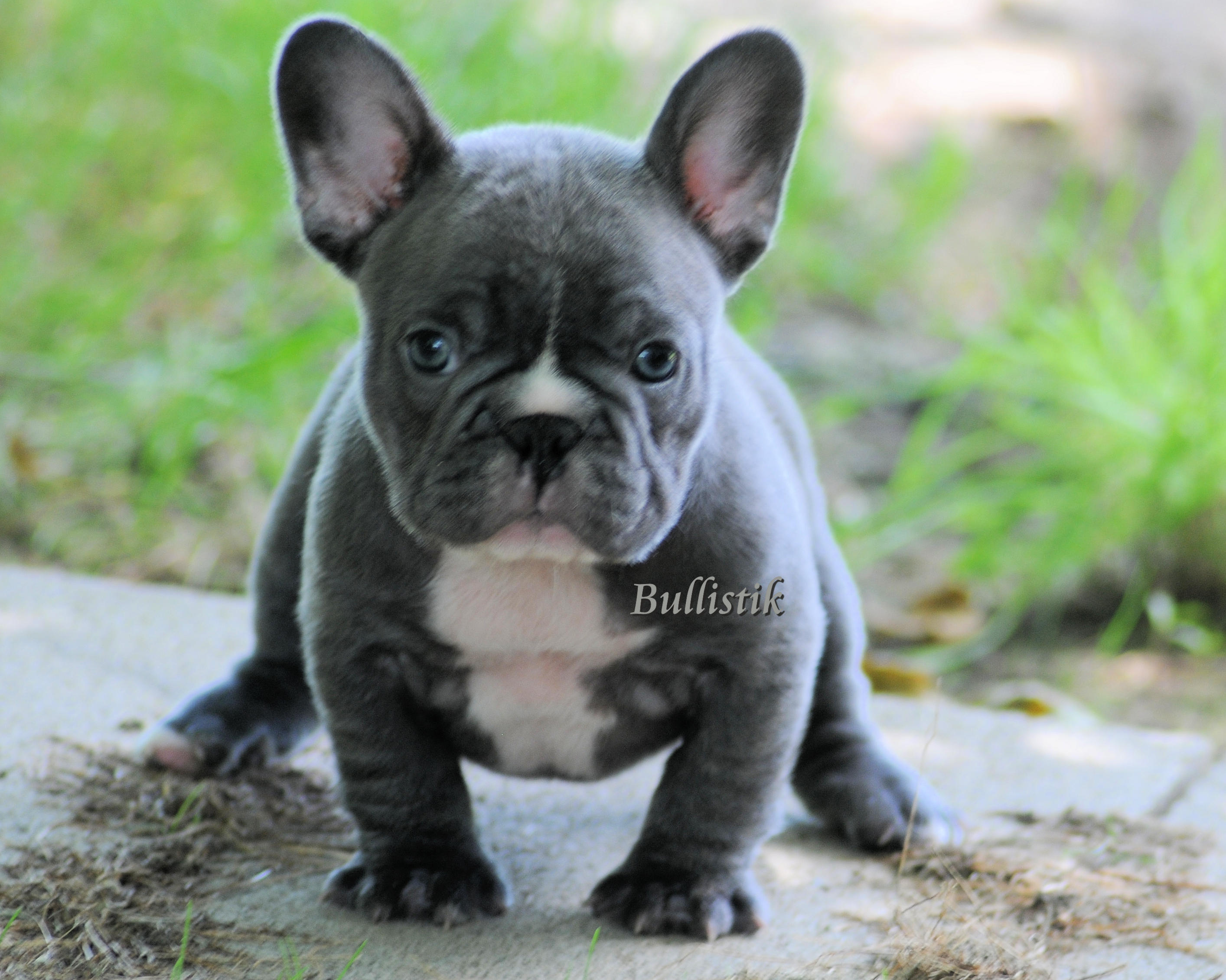 Pin French-bulldog-blue on Pinterest