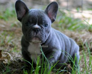 Blue daughter of Rodeo x Sweets – Blue French Bulldogs by ...