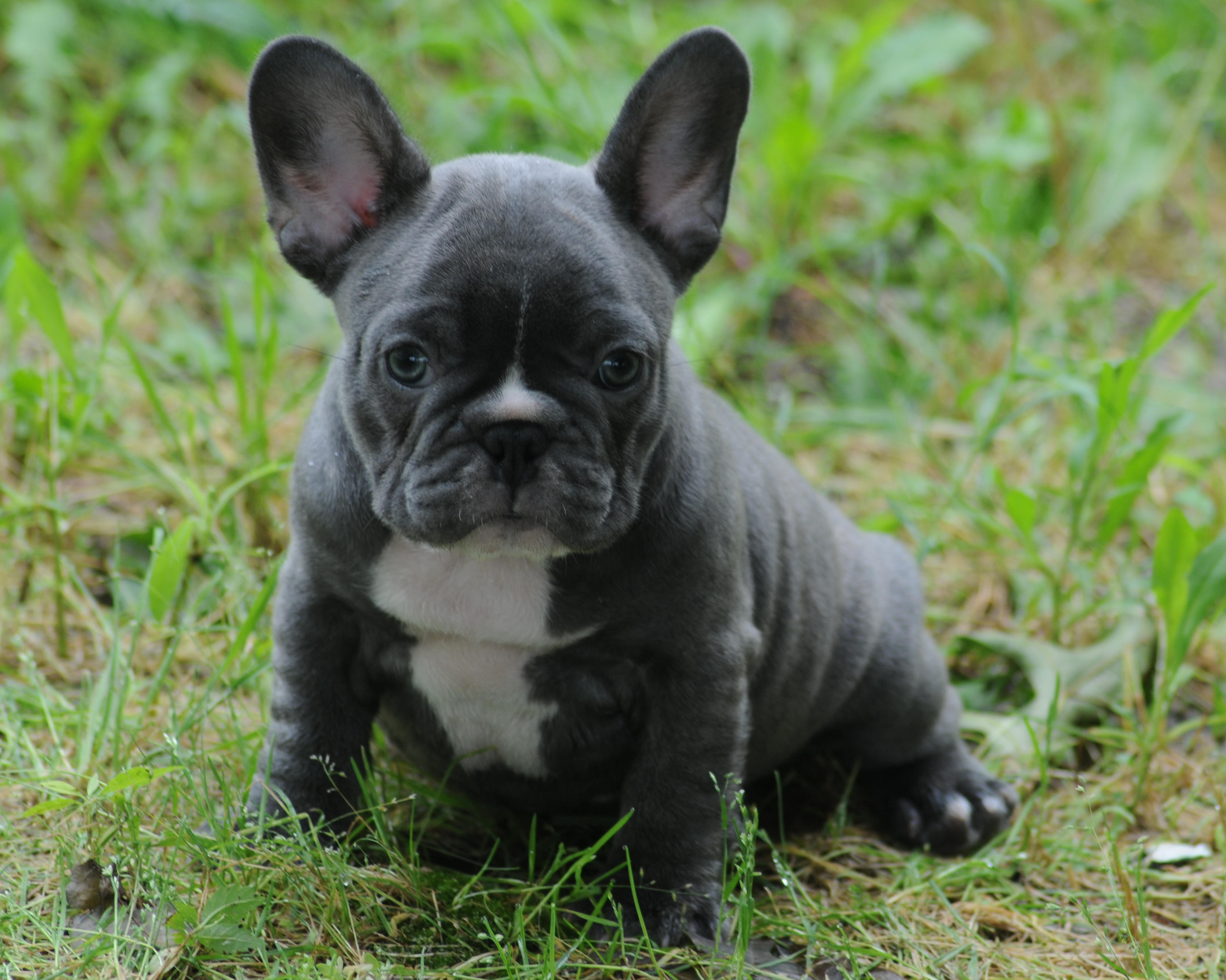 Blue french bulldog adults