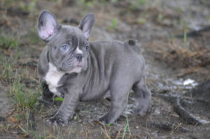 Rodeo x Sweets Blue Brindle Female