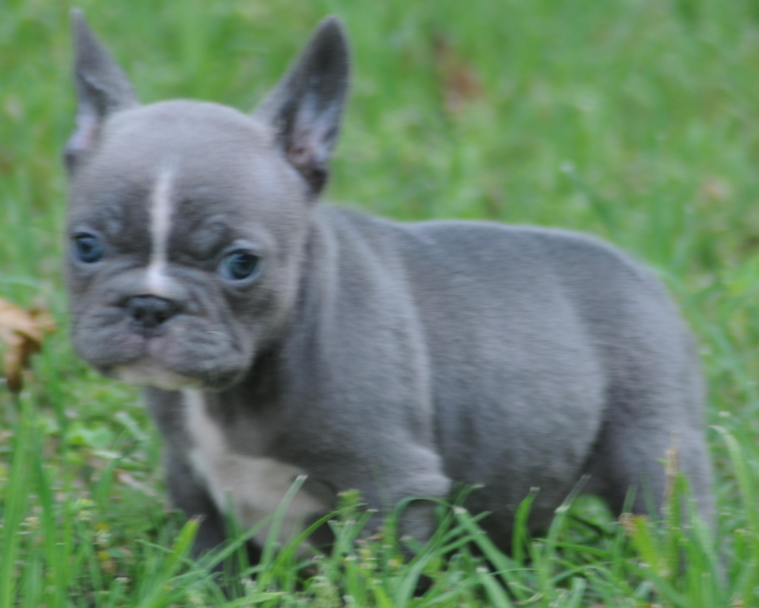 Rodeo x Sweets Blue Female – Blue French Bulldogs by Bullistik