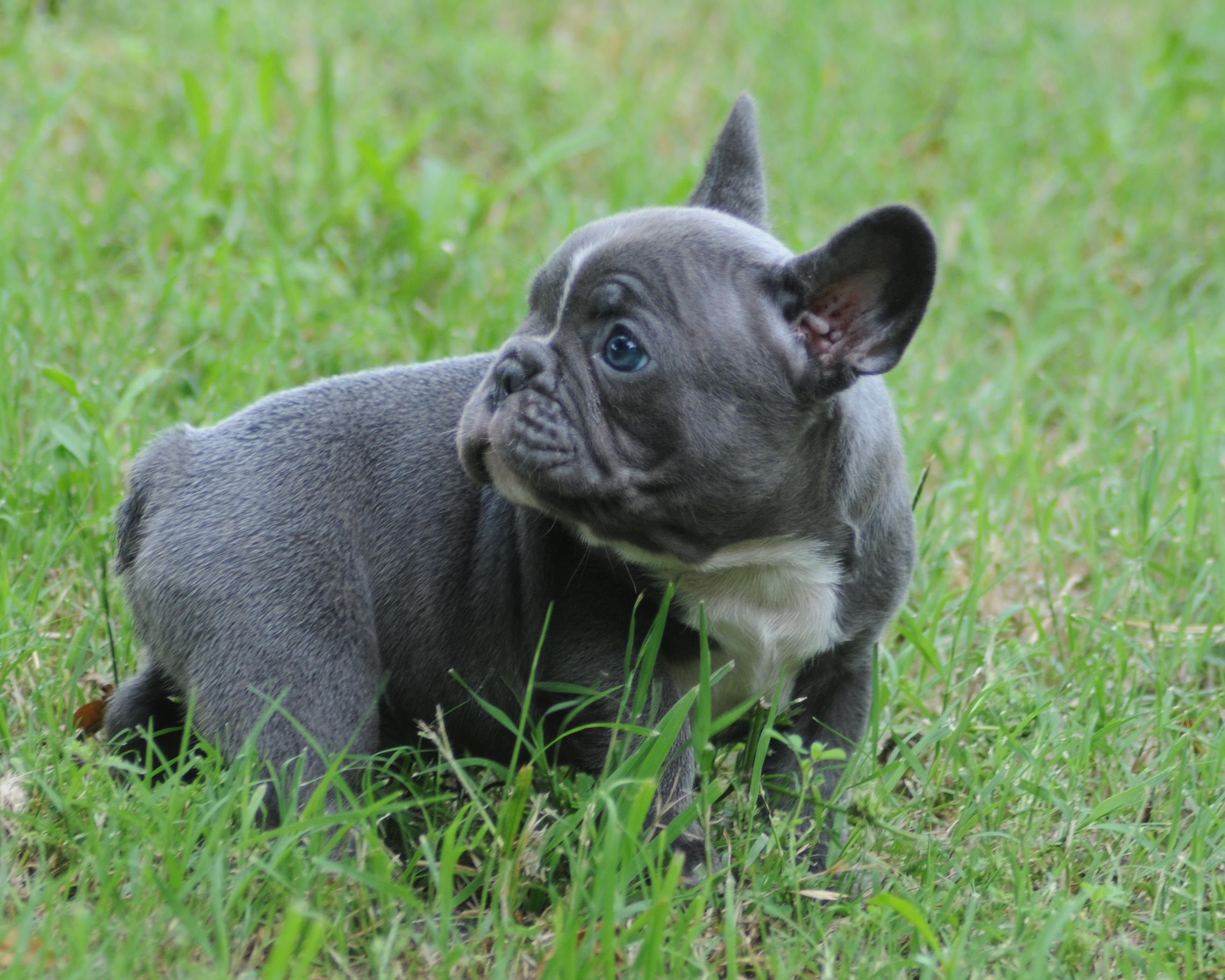 Rodeo x Sweets Blue Male – Blue French Bulldogs by Bullistik