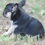 Black & Tan male at/at