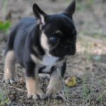 Black & Tan Male
