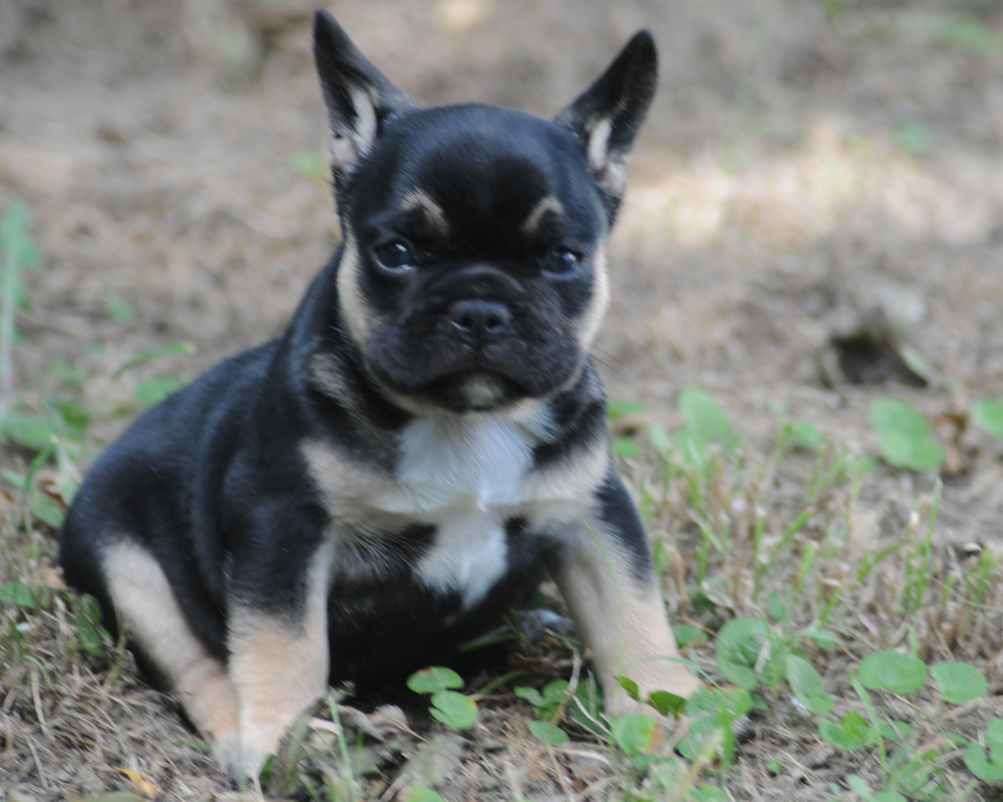 Black & Tan French Bulldogs – Blue French Bulldogs by Bullistik