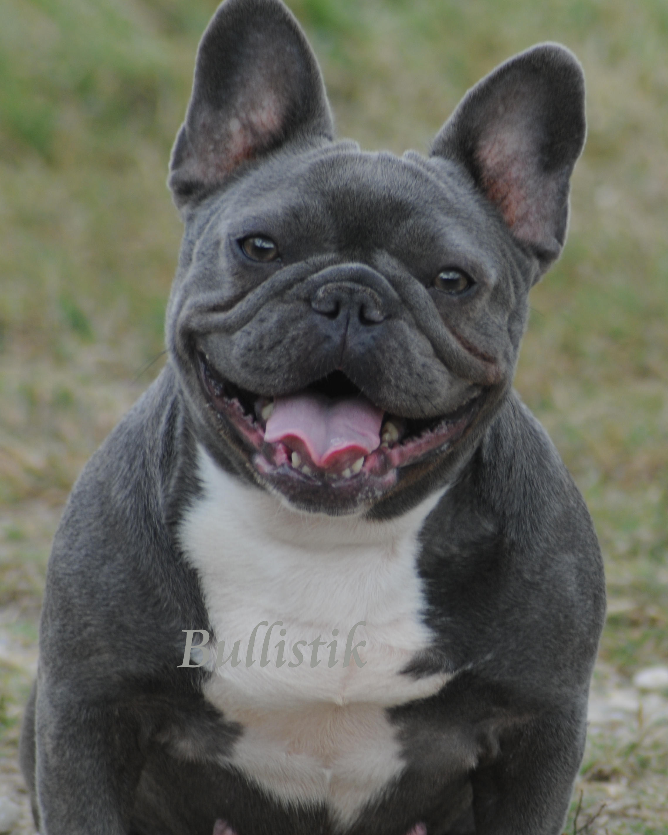 Black & Tan French Bulldogs – Blue French Bulldogs by Bullistik