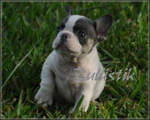 Blue & Tan French Bulldogs